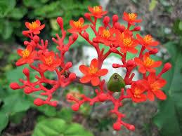 jatropha species