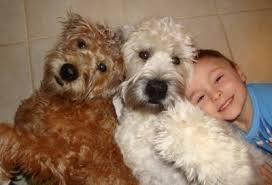 irish coated wheaten terrier