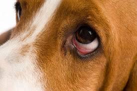 dog eye illness