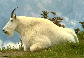 mountain goats pictures