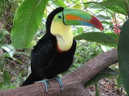 keel billed toucans