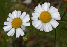 hierba aromatica