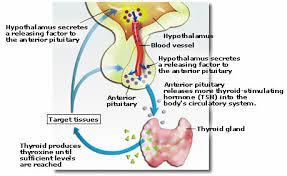 hypothalamus thyroid