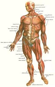 human body muscles picture