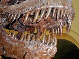 t rex teeth