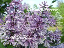 dwarf lilac bush