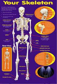 educational skeleton