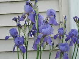 bearded iris photos
