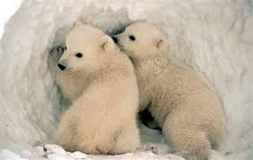 extinct polar bears