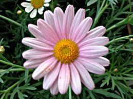 ��� �������� ������� daisy-pink.jpg