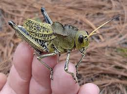grasshopper photos