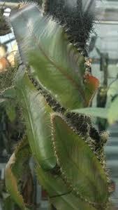 selenicereus wittii