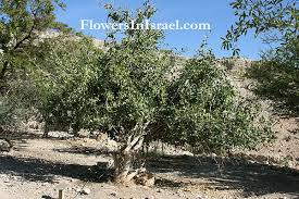 picture of mustard tree