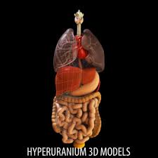 anatomy of internal organs
