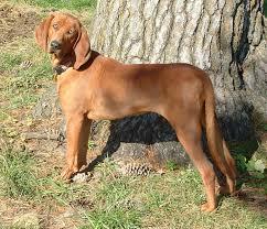 coonhound pictures