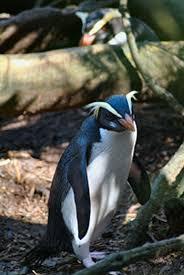 fiordland penguin