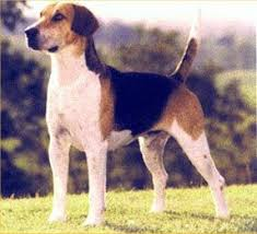 english foxhound pictures