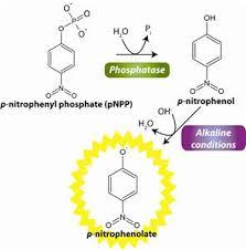 phosphatase