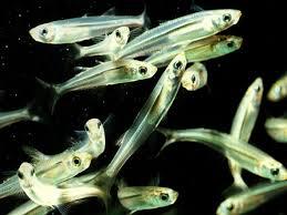 silversides fish