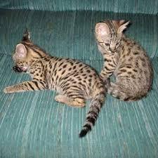 ocelot kitten for sale