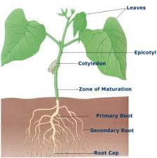 diagram of a plant root