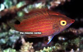 cryptic sixline wrasse