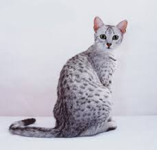 egyptian mau pictures