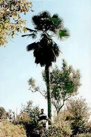 kumaon palm