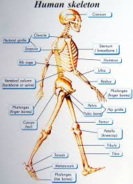 musculoskeletal system picture
