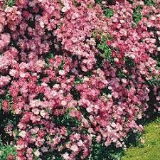rosa ferdy