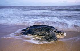 biggest sea turtles