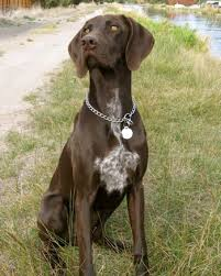 german short haired pointer dogs