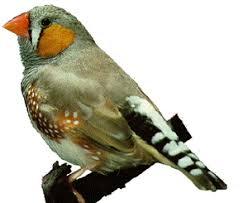 birds finches