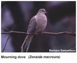 species of doves