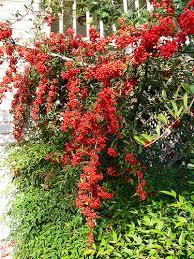 pyracantha berry