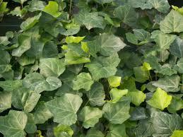 ground cover vines
