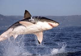 jumping great white sharks