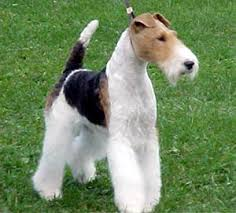 fox wire terriers