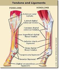horse tendon