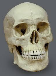 skeletons model