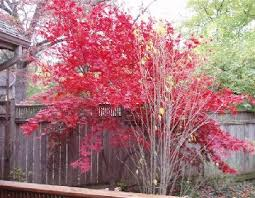 japonica trees