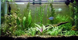 aquarium fern