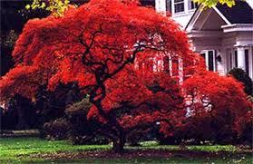 dwarf red japanese maple