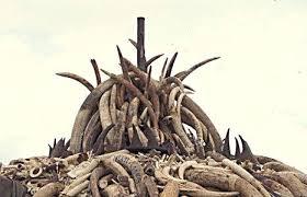 black rhino horns