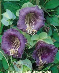 cup and saucer vine