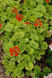 geranium zonal
