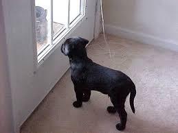 black bull mastiff