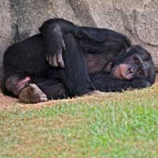 chimpanzee death