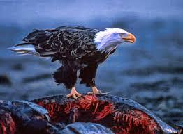 bald eagles eat