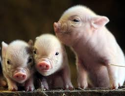 pigs animals
